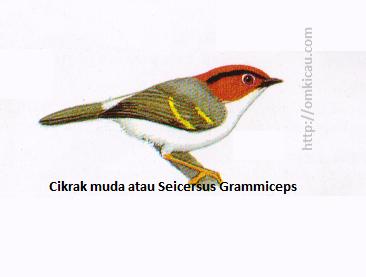 Cikrak muda atau Seicersus Grammiceps - Kepala merah bata, alis hitam, tubuh bawah putihl tunggir putih