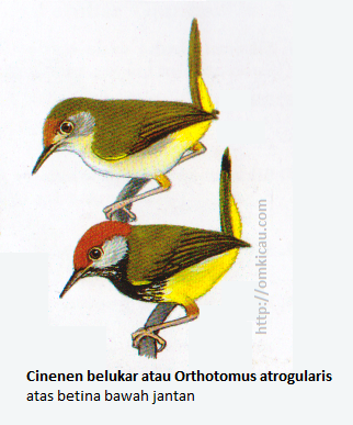 . Cinenen belukar atau Orthotomus atrogularis - Mahkota merah bata, pipi abu-abu, tunggir kuning tua, dada atas bercoret hitam.