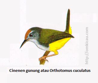 Cinenen gunung atau Orthotomus cuculatus - Kuning jingga, punggung dan sayap zaitun terang, perut dan tunggir kuning.