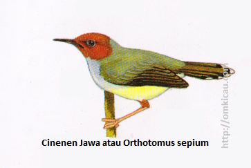 Cinenen Jawa atau Orthotomus sepium - Kepala merah, tubuh atas tersapu zaitun, tubuh bawah kekuningtuaan
