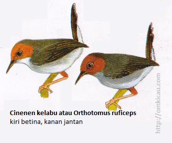 Cinenen kelabu atau Orthotomus ruficeps - Wajah kemerahan, punggung abu-abu, tubuh bawah keabu-abuan.