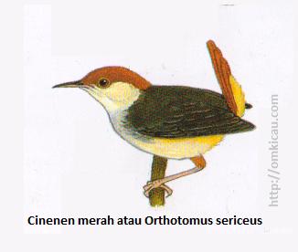Cinenen merah atau Orthotomus sericeus - Ekor merah bata, tubuh bawah kekuningtuaan