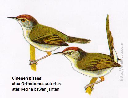Cinenen pisang atau Orthotomus sutorius - Jantan bulu ekor tengah lebih panjang pada waktu berbiak, alis dan tubuh bawah kuning tua.
