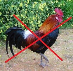 Keberadaan Ayam Bekisar Terancam Revisi UU No 5 Tahun 1990