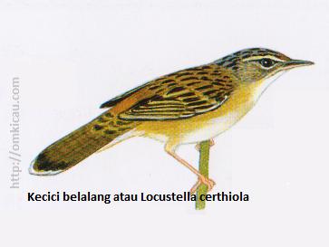 Kecici belalang atau Locustella certhiola - Punggung bercoret, tunggir merah bata, garis hitam pada subterminal ekor.