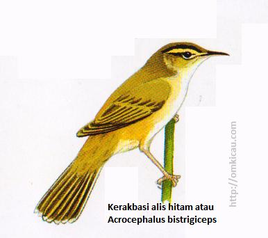 Kerakbasi alis hitam atau Acrocephalus bistrigiceps - Alis pucat, atas dan bawahnya dibatasi oleh setrip hitam, tunggir dan sisi tubuh kemerah-bataan.
