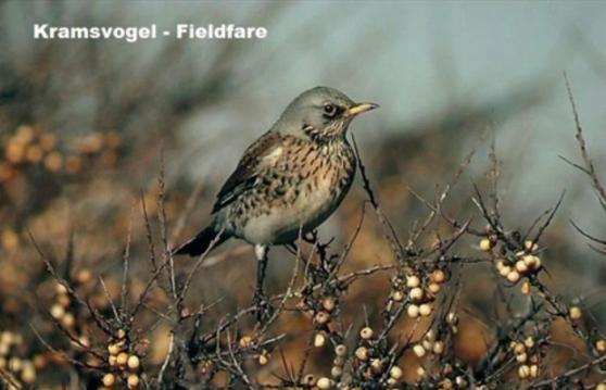 Kramsvogel - Fieldfare