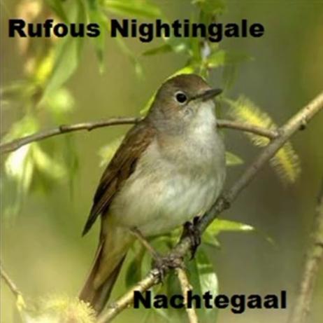 Nachtegaal - Rufous Nightingale