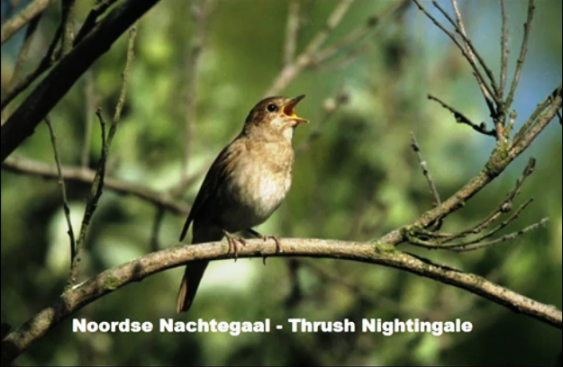Noordse Nachtegaal - Thrush Nightingale