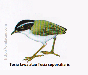Tesia Jawa atau Tesia superciliaris - Berukuran sangat kecil, terlihat tanpa ekor. Kepala hitam dengan alis abu-abu atau tubuh bawah tergambar terlalu putih.
