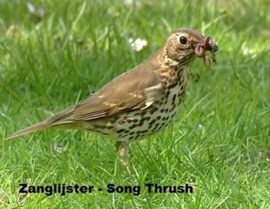 Zanglijster - Song Thrush