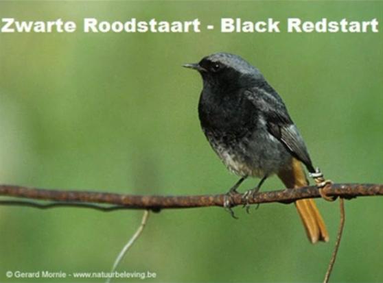 Zwarte Roodstaart - Black Redstart