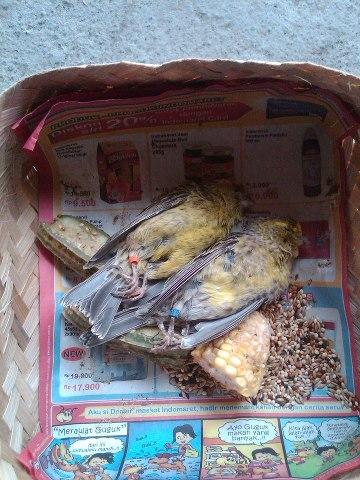 Burung mati dalam pengiriman