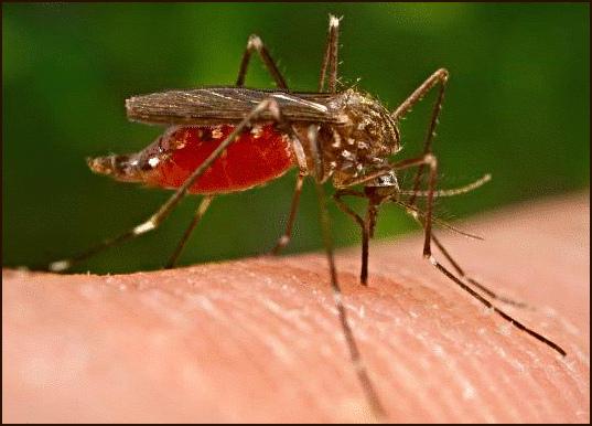 Nyamuk - salah satu penyebar virus west nile - West Nile Virus
