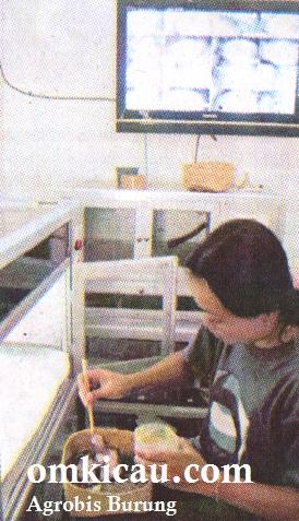 Perawatan anakan burung dengan inkubator digital
