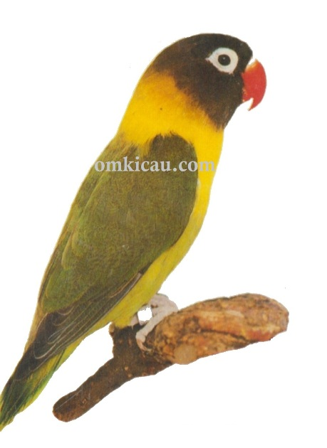 Halamana 1 Galeri 45 Gambar Burung Lovebird