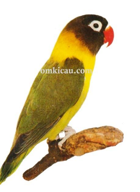 1 agapornis personata lovebird-masked lovebird-lovebird topeng