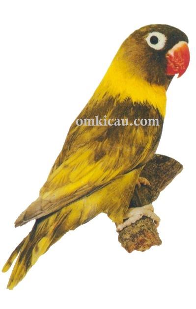 Halaman 3 Galeri 45 Gambar Burung Lovebird