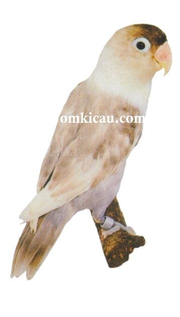 Halaman 4 Galeri 45 Gambar Burung Lovebird