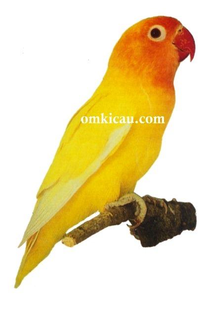 1060+  Gambar Burung Lovebird Lembayung