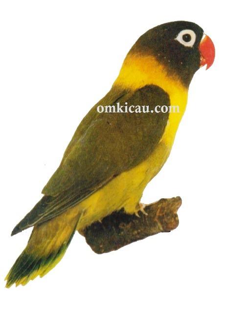 2 agapornis personata lovebird-dark green-hijau tua