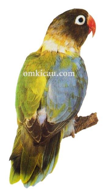 20 agapornis personata lovebird-halfsider-setengah warna sisi