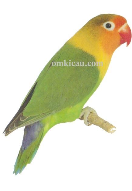 Halaman 5 Galeri 45 Gambar Burung Lovebird