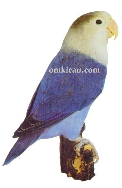 Halaman 6 Galeri 45 Gambar Burung Lovebird