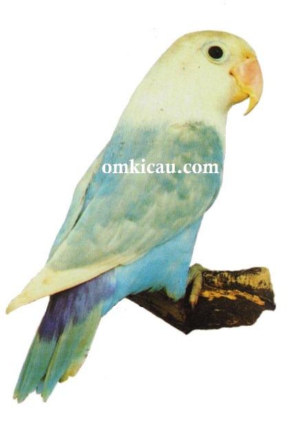 Lovebird biru - photo#46