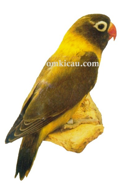 3 agapornis personata lovebird-olive green-hijau olive