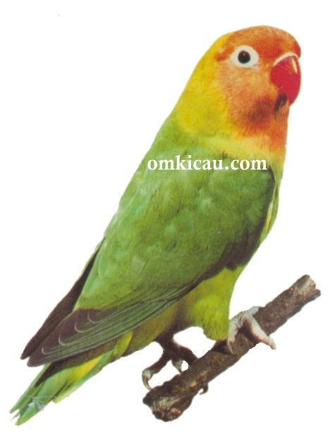 Halaman 8 Galeri 45 Gambar Burung Lovebird