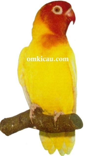 38 agapornis lilianae lovebird-lutino-lutino