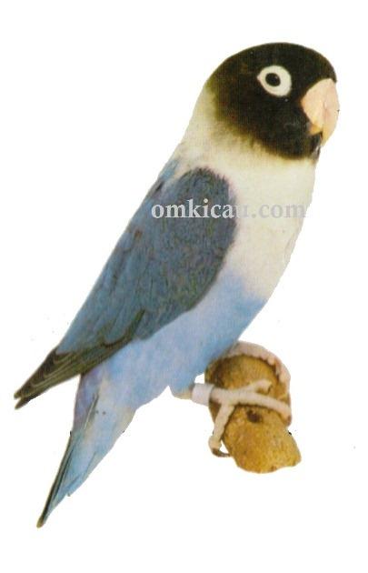 4 agapornis personata lovebird-blue-biru