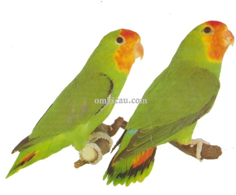 Halaman 9 Galeri 45 Gambar Burung Lovebird