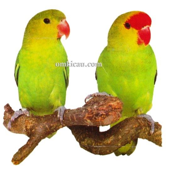 42 agapornis taranta lovebird-abyssinium lovebird-livebird abisinian