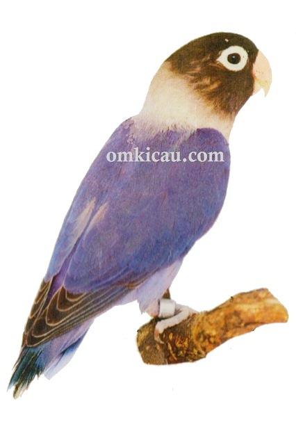 5 agapornis personata lovebird-cobalrblue-biru kobalt