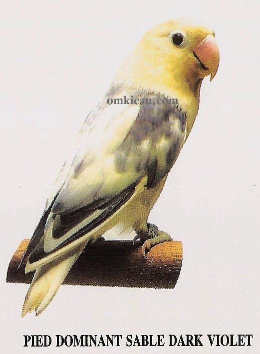 burung lovebird pied dominant sable dark violet
