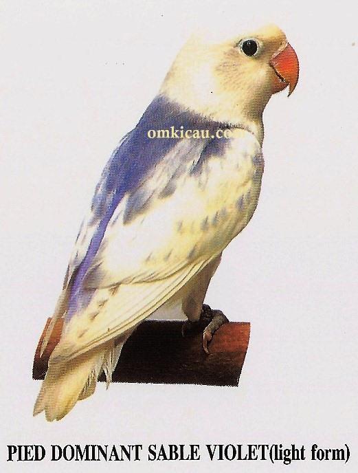 burung lovebird pied dominant sable violet - light form