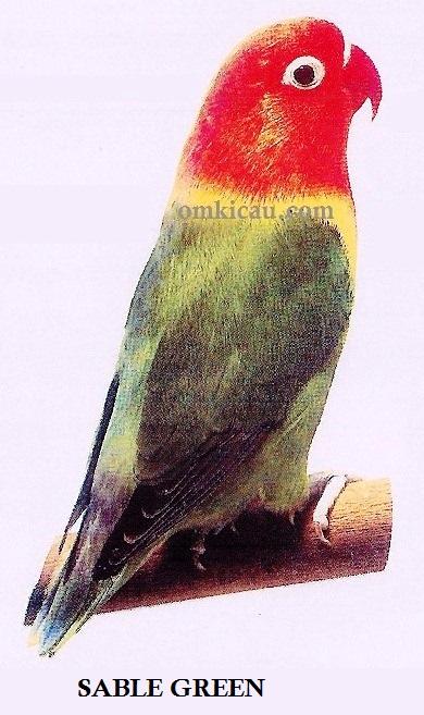 burung lovebird sable green
