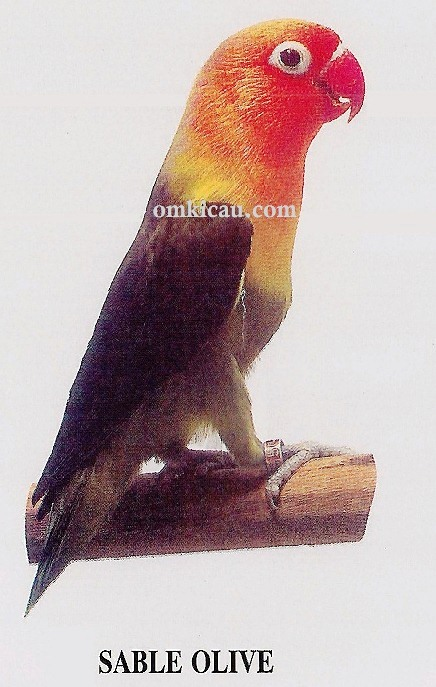 burung lovebird sable olive