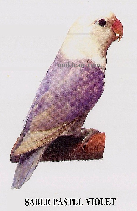 Lovebird pastel violet - photo#1