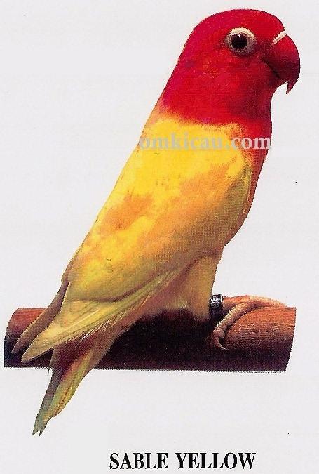 burung lovebird sable yellow