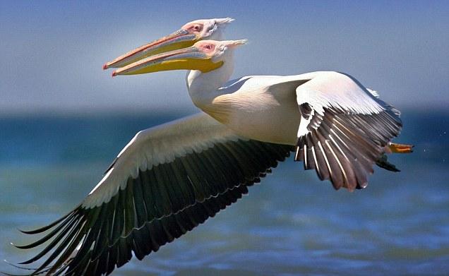 Burung pelikan berkepala dua