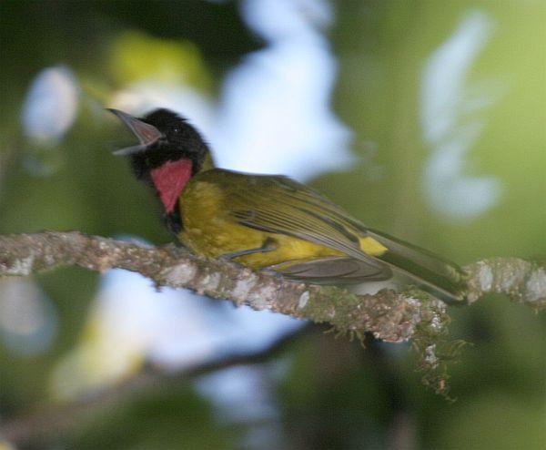 Burung samyong atau Bare-throted Whistler - Pachycephala nudigula