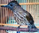 burung siri-siri atau cucak rawis