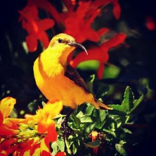 Burung sogok ontong alias burung madu sriganti (1)