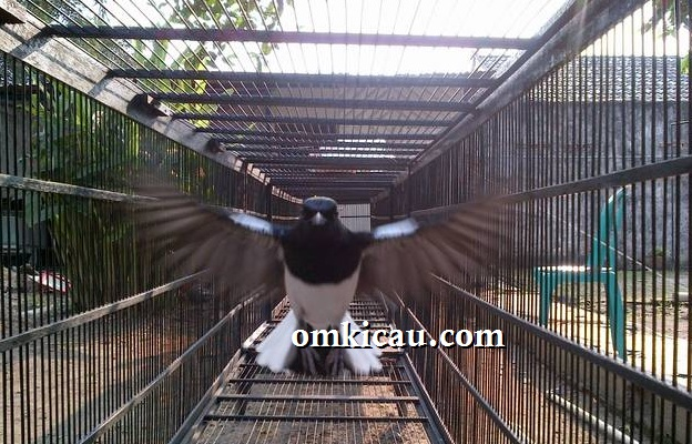Charly terbang 200 kali dalam kandang umbaran 6 meter
