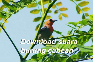 Download suara burung cabean