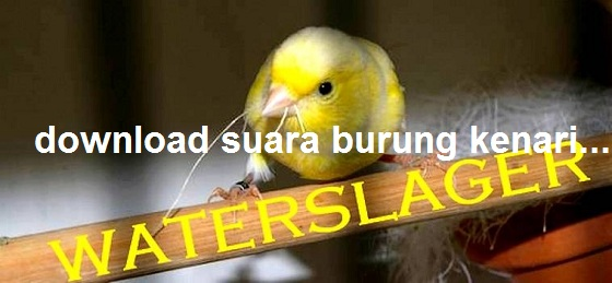 Download suara burung kenari waterslager