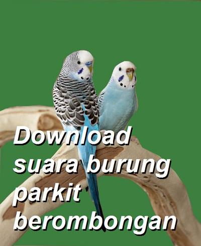 Download suara burung parkit berombngan